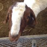 The Farm goats